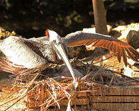 Protective Pelican on nest. Protective Pelican spreads her wings out over her babies Royalty Free Stock Image