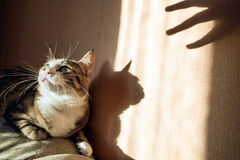 Protective reaction of a cat to approach   hand with thumbs up. Sunny hard light  shadows. Concept  reflexes  cats. Protective reaction of a cat to approach of Royalty Free Stock Image