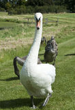 Protective Swan Stock Photo