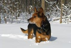 Protector de la situación del perro en nieve Foto de archivo libre de regalías