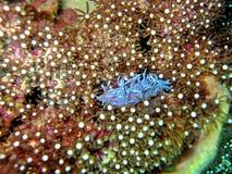 Protegido por Coral Imagem de Stock Royalty Free