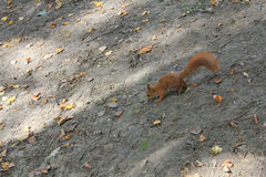 Protein on earth. Squirrel looking for food for the winter Stock Photos