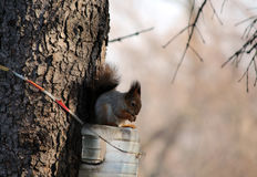 Protein is fed from a plastic feeding box. The squirrel feeds from the plastic feeder in the spring garden Royalty Free Stock Photos