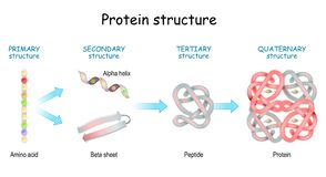 Free Protein Structure Levels. From Amino Acid To Alpha Helix, Beta Sheet, Peptide, And Protein Molecule Royalty Free Stock Images - 196885939