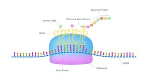 Protein synthesis / ribosome assemble protein molecules. On white background stock illustration