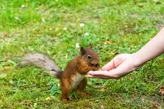 Proteins take the hazelnuts out of the hands of women . Close up pics in the summer. Man treats the squirrel with nuts royalty free stock photography