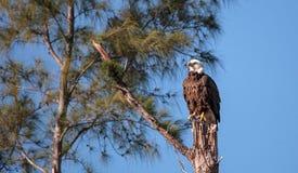 Protetor adulto dos suportes do leucocephalus do Haliaeetus da águia americana Imagens de Stock
