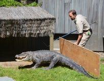 Protetor da tentativa do jardim zoológico de Granby para mudar um jacaré de e um cerco Fotografia de Stock