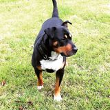 Protetor Dog Fotos de Stock Royalty Free