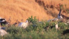 Protetores do ganso de mãe seus ganso pequenos filme