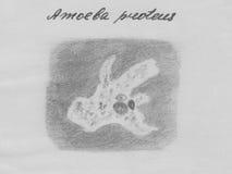 Proteus d'amibe, protozoaires Organisme unicellulaire d'eau douce Photos libres de droits