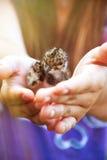 Protezione dell'ambiente Gabbiani del pulcino nelle mani delle donne Fotografia Stock