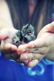 Protezione dell'ambiente Gabbiani del pulcino nelle mani delle donne Fotografie Stock Libere da Diritti