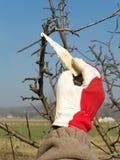 Protezione della molla dell'albero da frutto Immagini Stock