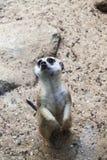 Protezione di Meerkat Immagini Stock Libere da Diritti