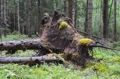 Protezione frangivento, gli alberi del taglio e caduto in rovina fotografia stock