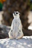 Protezione sveglia di condizione del meerkat in cima ad una roccia Fotografia Stock Libera da Diritti