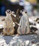 Protezione sveglia di condizione del meerkat in cima ad una roccia Immagine Stock