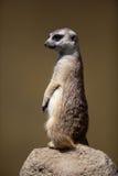 Protezione vigile di condizione del meerkat Immagini Stock Libere da Diritti