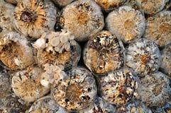 Protezioni della segatura per il fungo in un'azienda agricola Immagini Stock