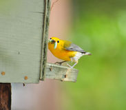Prothonatary Warbler Royalty Free Stock Images