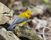 Prothonotary Warbler Fotografia Stock
