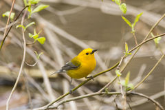 Prothonotary Warbler Obrazy Stock