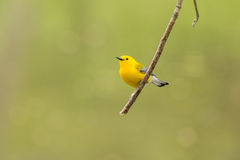 Prothonotary Warbler Obrazy Royalty Free