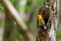 Prothonotary Warbler Royalty Free Stock Photo