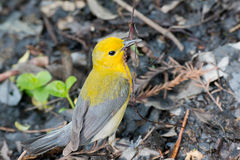 Prothonotary Warbler with nesting material Royalty Free Stock Photos