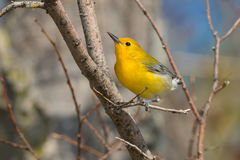 Prothonotary Warbler Stock Image