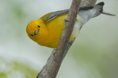 Prothonotary Warbler Royalty Free Stock Image