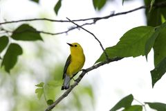 Prothonotary Warbler (Protonotaria citrea) Stock Photos