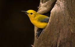 Free Prothonotary Warbler Yellow Bird In Nesting Cypress Cavity Stock Photo - 47776540