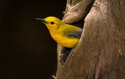 Prothonotary Warbler Yellow Bird in Nesting Cypress Cavity Stock Photo