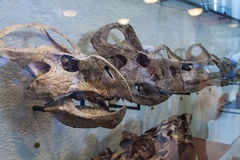 Protoceratops in American Museum of Natural History Royalty Free Stock Photography