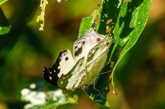 Protogoniomorpha Anacardii Duprei Fotografering för Bildbyråer
