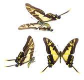 Protographium thyastes motyli Zdjęcia Stock