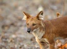 protrait του ασιατικού άγριου σκυλιού Στοκ Εικόνα