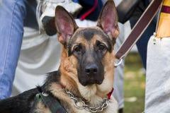 Protrait av den tyskShephard hunden Royaltyfri Foto