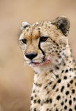 Protrait of a Cheetah after eating its kill Stock Photography