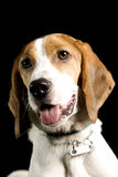 Protrait del perro del beagle imagen de archivo libre de regalías