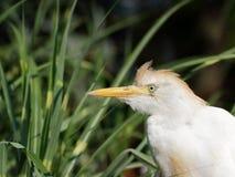 Protrait Egret скотин цапли стоковая фотография