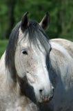 Protrait van een wit paard Stock Afbeeldingen