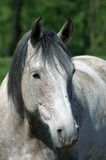 Protrait of a white horse. A portrait captured on a meadow in central germany Stock Images