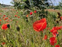 Protruding Poppies. Poppy, poppyseed, field, nature, red, glow, grass, trees, backlight, countre-jour, beauty stock photos