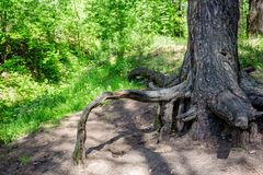 The protruding root of the old pine. The protruding root of the old trunk pine stock photography