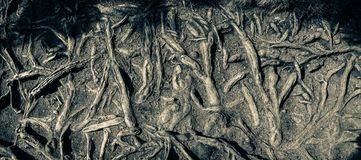 The protruding tree roots on a dry mountain path. Poland, The protruding tree roots on a dry mountain path europe nature road trail scattered diverse cracked stock images