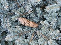 Protuberância grande de Brown em um ramo do abeto azul em um ambiente natural Imagem de Stock