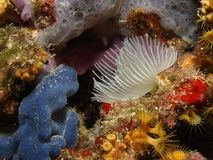 Protula. Intestinum in the mediterranean sea Stock Images
